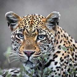 aipp_leopard_lr