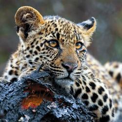 aipp_leopard_lr_