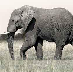 elephant_walking_lr