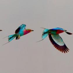 john-wiseman-roller-bird-africa_0