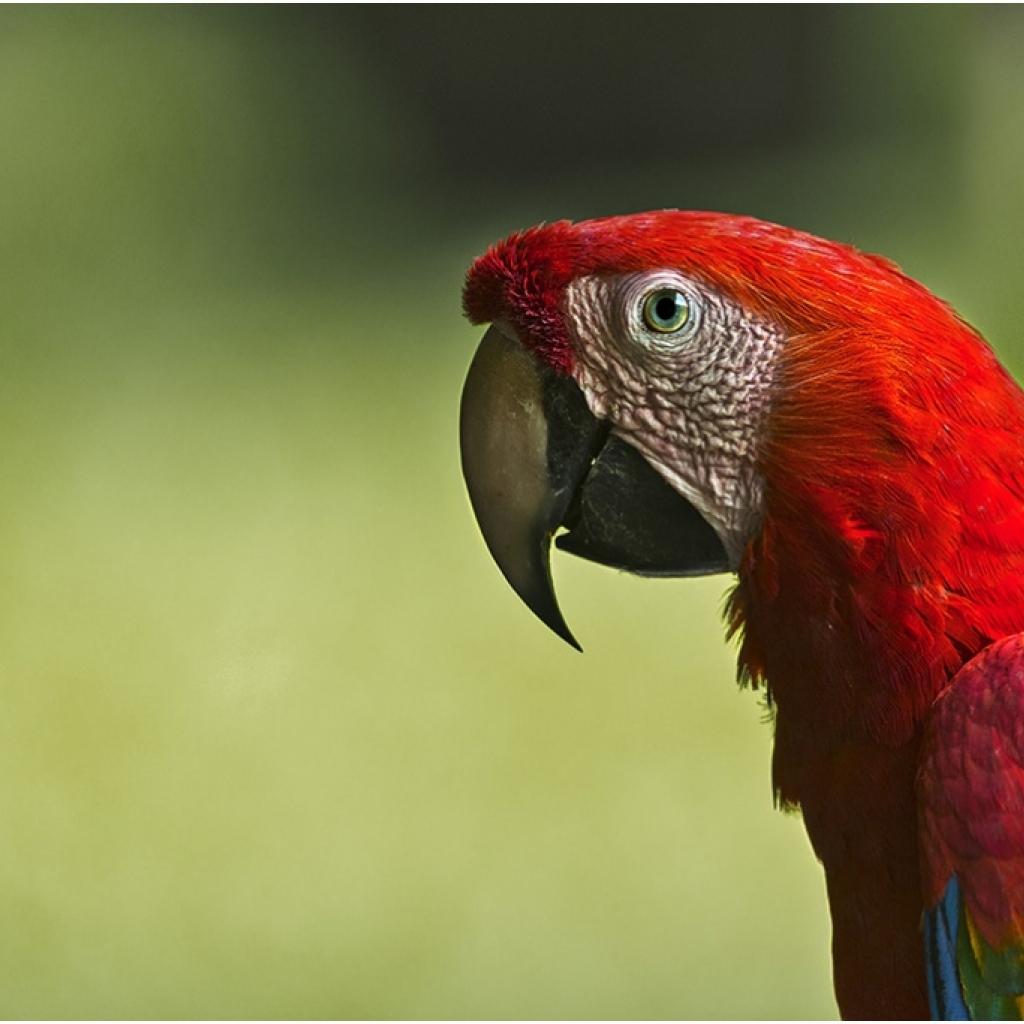 i6w7952_scarlet_macaw_0