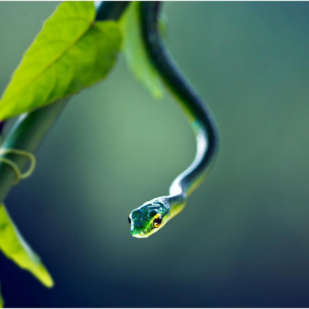 i6w8549_green_snake