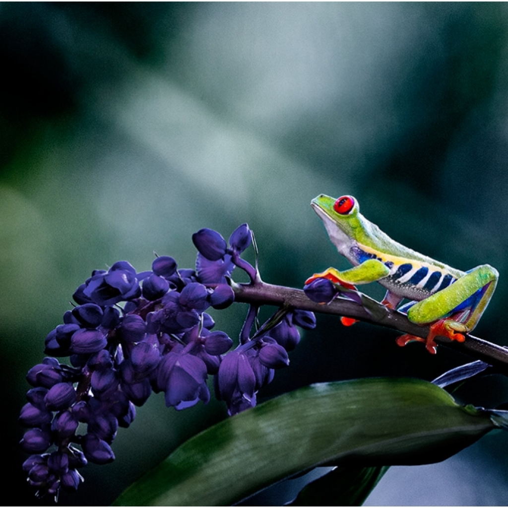 red_eyed_frog